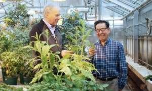 Terapeutyczne białko produkowane jest przez tytoń