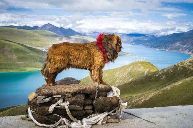 mastif tybetański, góry mastif tybetański, psy mastif tybetański, psy w górach, zwierzęta górskie