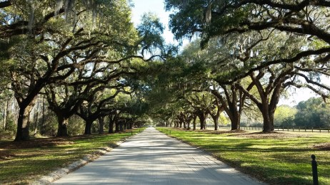Quarter mile of oaks
