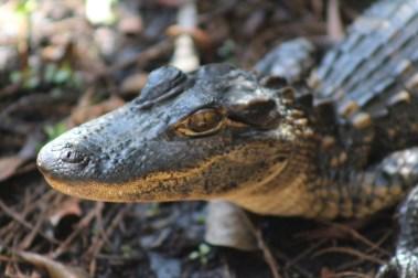 Baby gator headshot