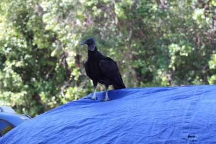 Vultures eat the cars (unless they have a tarp on them)