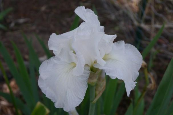 Iris - White