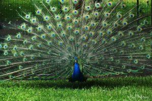 National Bird of India | Symbols of India