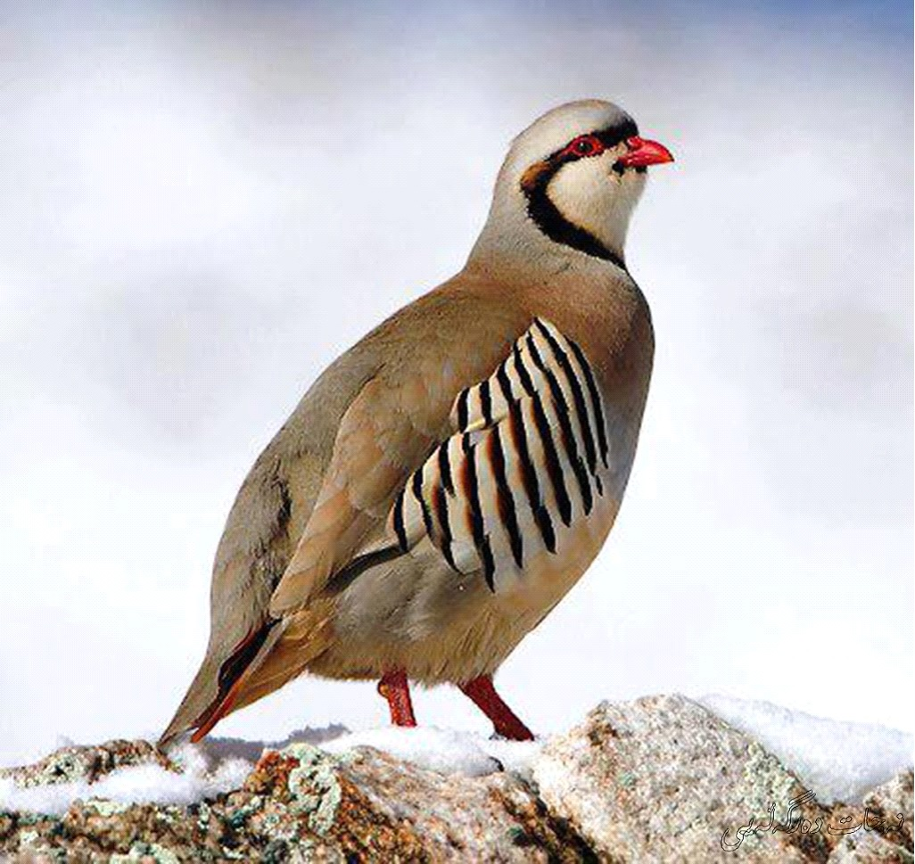 National Bird of Pakistan