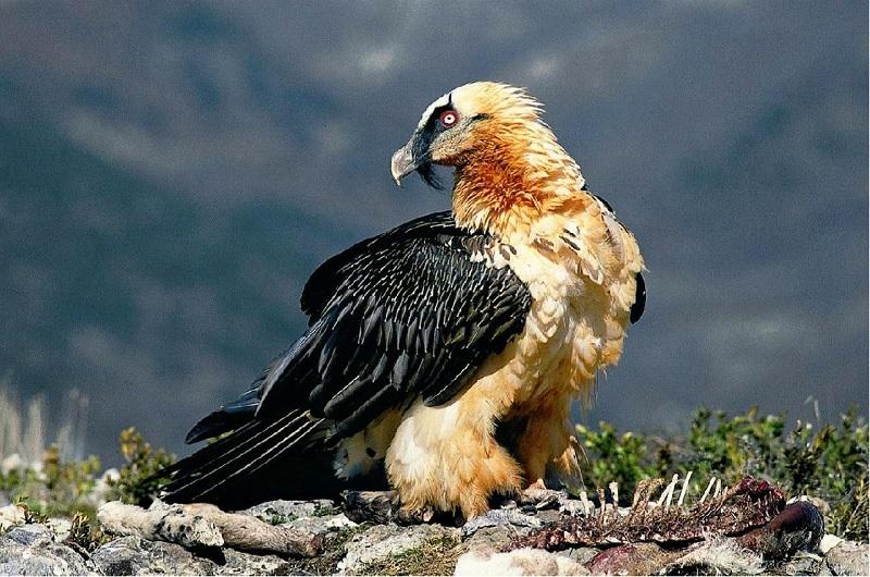 National Bird of Andora