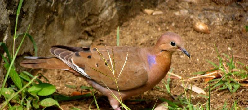 National Bird of Anguilla