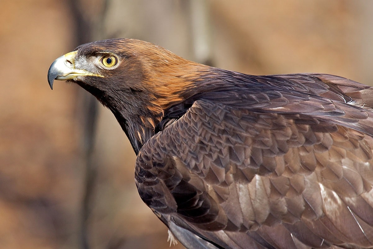 National Bird of Albania