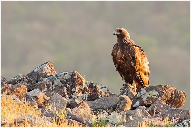 National Bird of Scotland