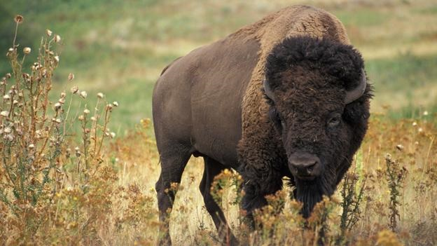 What Is The National Animal of United States?