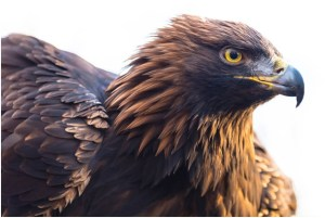 What Is The National Bird of Germany?