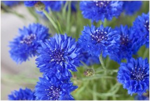 What Is The National Flower of Germany?