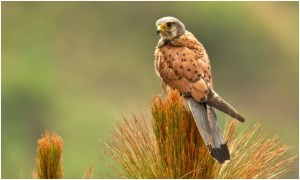 What is the National Bird of Belgium?