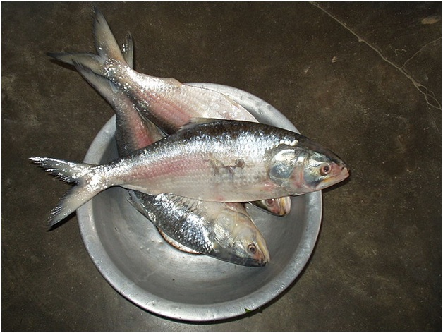 National fish of Bangladesh