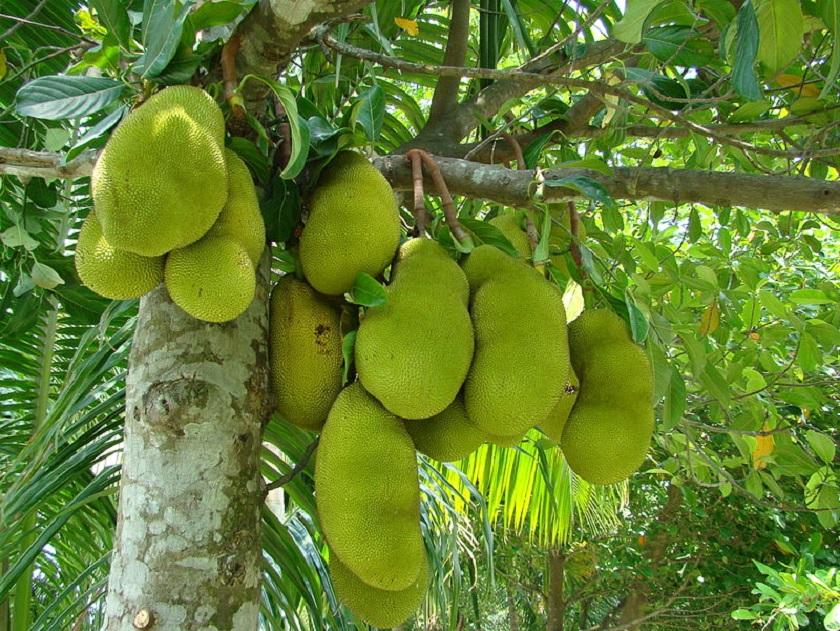 National fruit of Bangladesh
