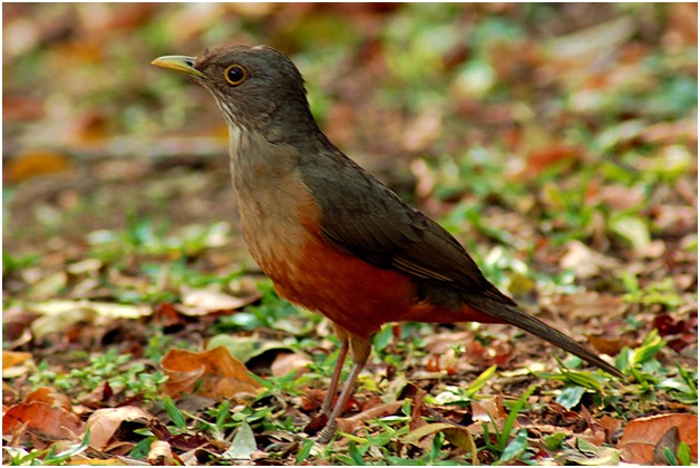 What Is The National Bird of Brazil?
