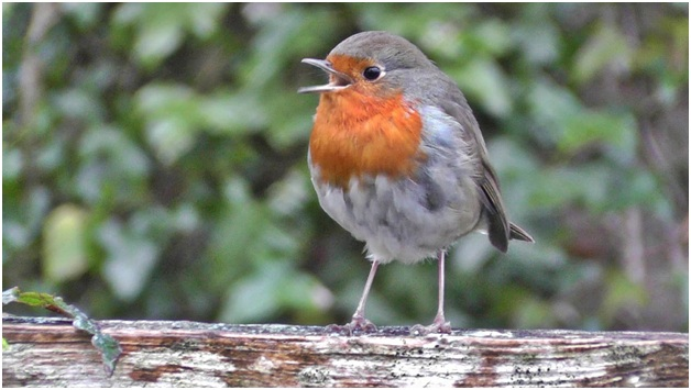 What Is The National Bird of England?