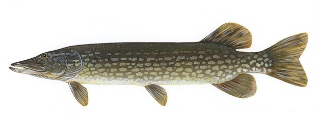 What Is The National Fish of Ireland?