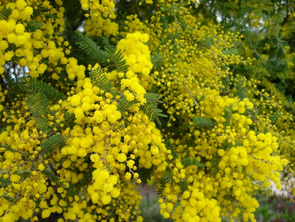 What Is The National Flower of Australia?