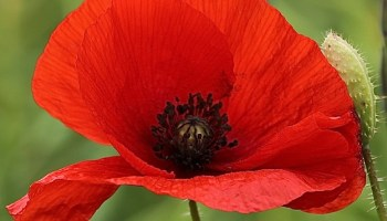What is the national flower of poland whatsanswer what is the national flower of belgium mightylinksfo