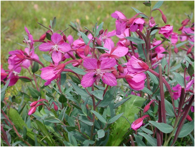 What Is The National Flower of Greenland?