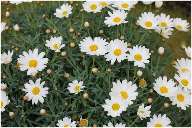 What Is The National Flower of Latvia?