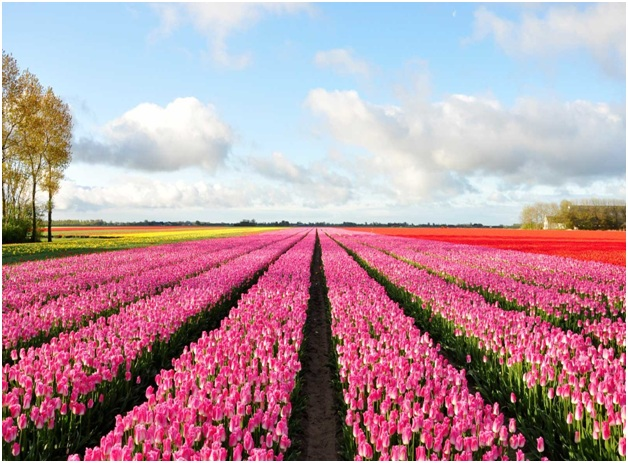 What Is The National Flower of Netherlands?