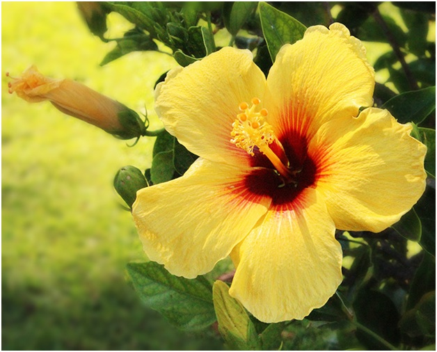 What Is The National Flower Of Hawaii Whatsanswer
