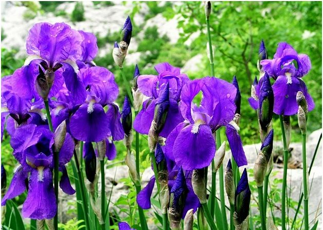 What Is the National Flower of Croatia?