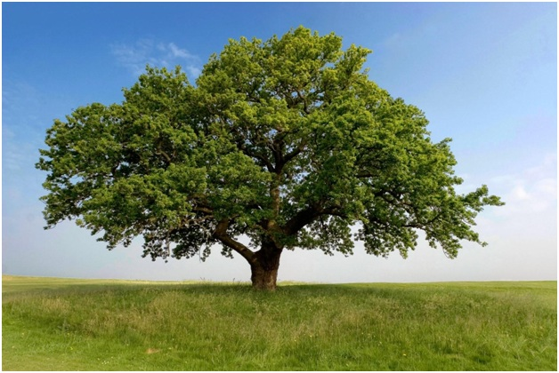 What is The National Tree of Denmark?