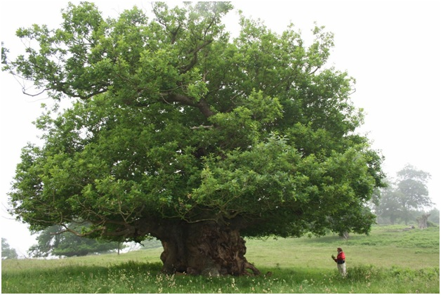 What is The National Tree of Ireland?