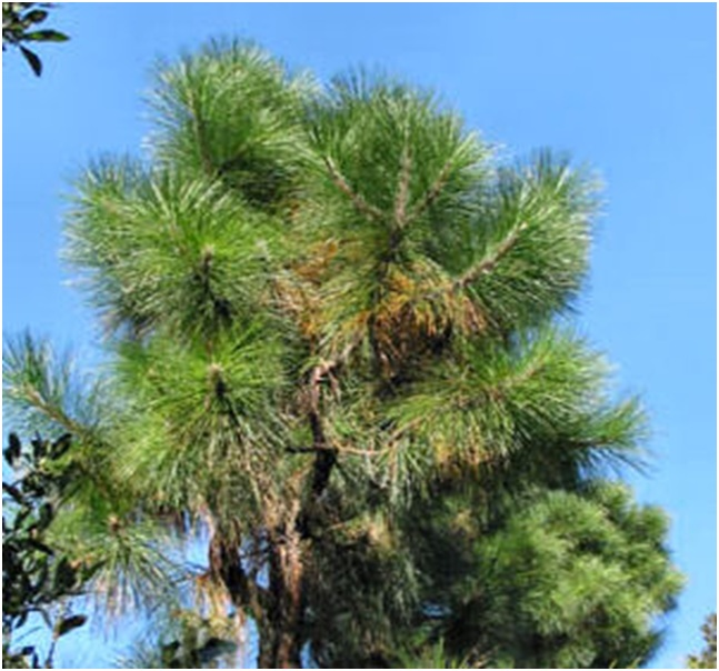 What is the State Tree of Alabama