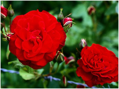 What Is The National Flower of Sicily?