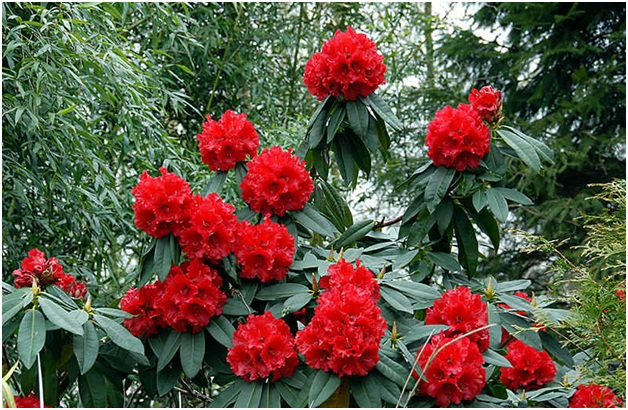 What Is The National Flower of Tibet?