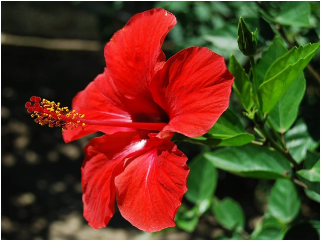 What Is The National flower of Sudan ?