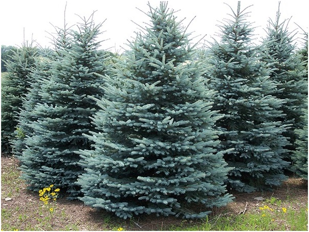 What Is The State Tree of Colorado?