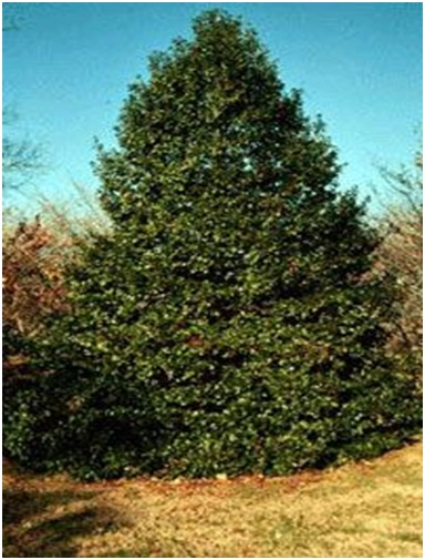 What Is The State Tree of Delaware?