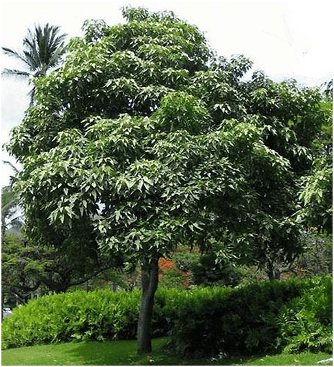 What Is The State Tree of Hawaii?