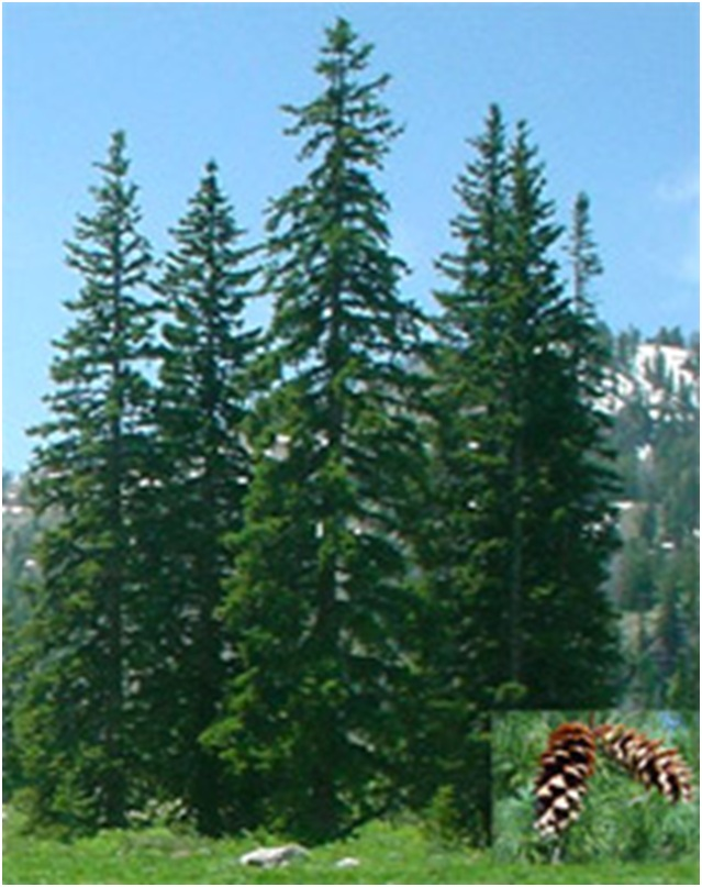 What Is The State Tree of Idaho?