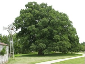 What Is The State Tree of Illinois?