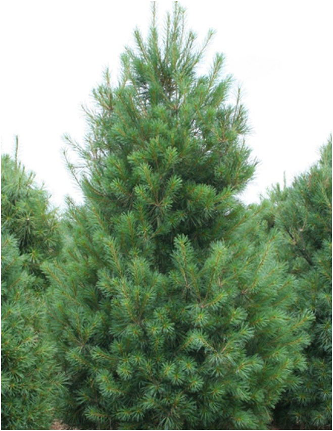 What Is The State Tree of Maine?
