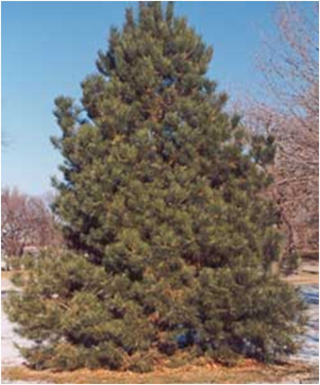 What Is The State Tree of Minnesota?