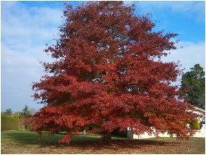 What Is The State Tree of New Jersey?