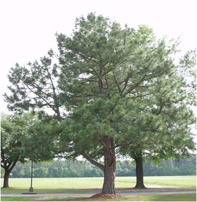 What Is The State Tree of North Carolina?
