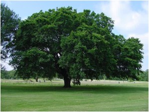 What Is The State Tree of North Dakota?
