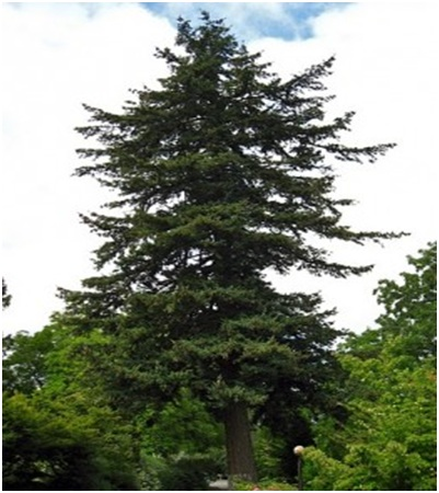 What Is The State Tree of Oregon?