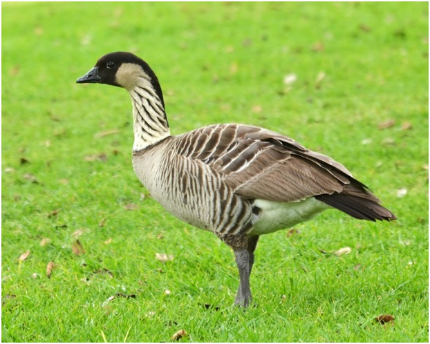 What is the Hawaii State Bird?