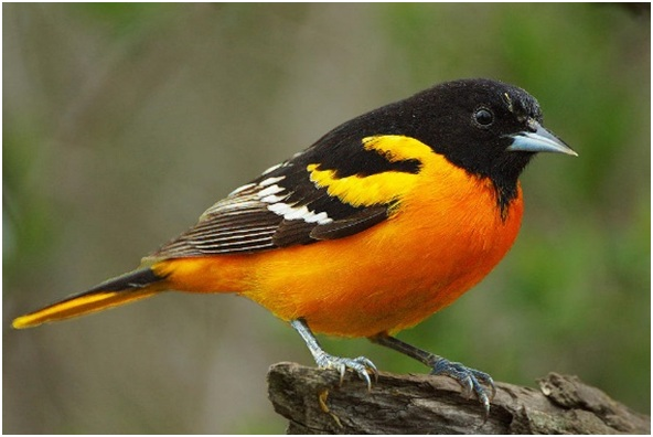 What is the Maryland State Bird?