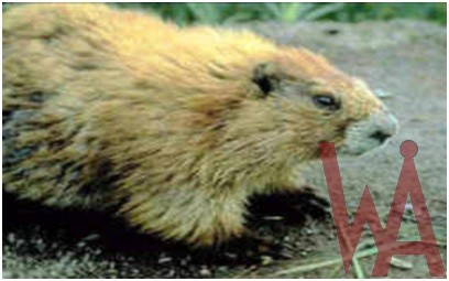 What is the State Endemic mammal of Washington?