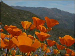 What is the State Flower of California?