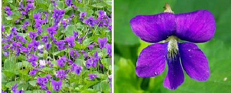 What is the State Flowers of Wisconsin?